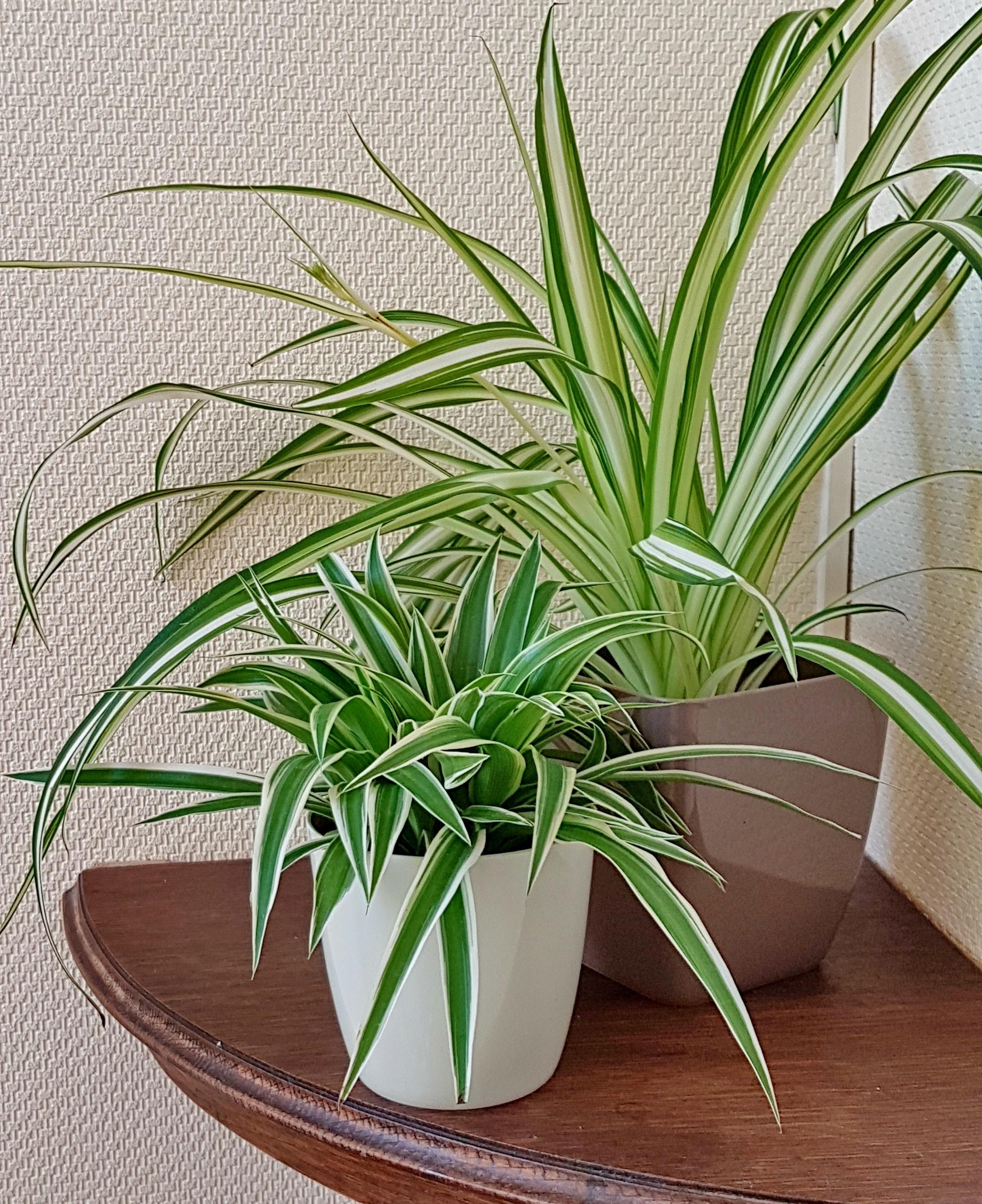 Suspension Pour Plantes D Intérieur chlorophytum : guide d'entretien de la plante araignée