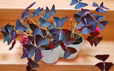 Oxalis pourpre : une plante tendance facile à cultiver