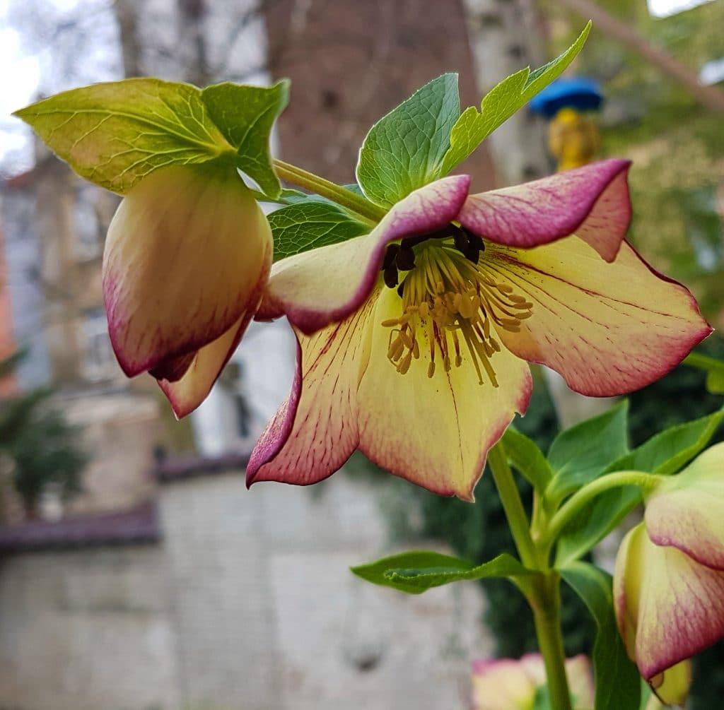 Hellebore Rose De Noel Entretien l'hellébore : la reine de l'hiver au jardin - garden id