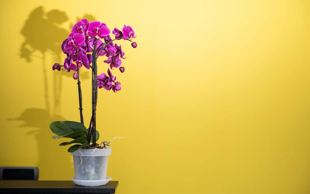 Orchidées Phalaenopsis : entretien et conseils pour débutants