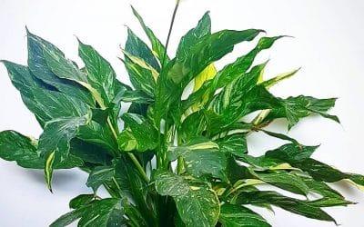 Spathiphyllum ou lys de la paix : culture et entretien