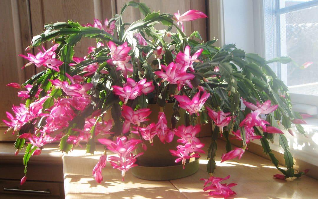 Schlumbergera : guide d'entretien du cactus de Noël