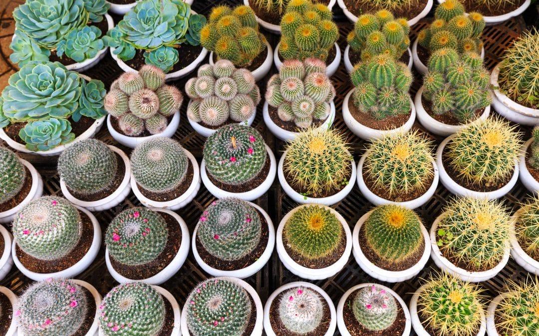 Guide d'entretien des cactus