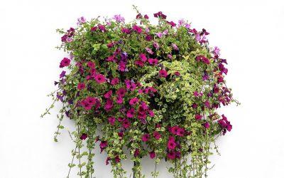 Comment réussir ses paniers de fleurs suspendus
