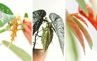 Guide d'entretien du begonia maculata